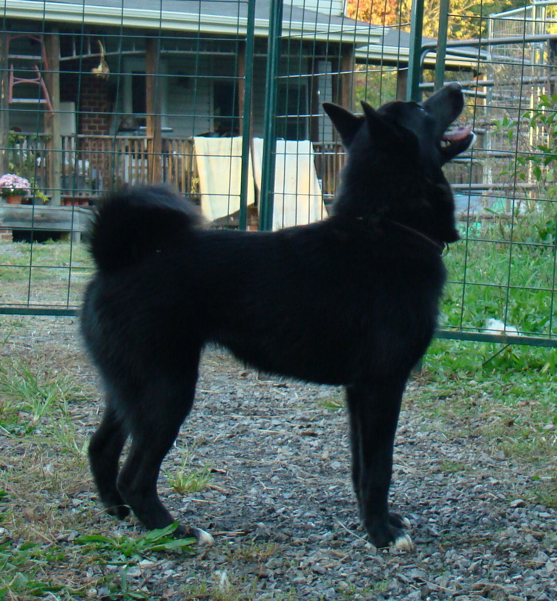 Storm Black Female Norwegian Buhund Rose Shadow Ranch